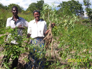 cassava harvest in Zambia