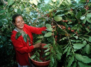 coffee-harvesting