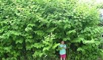 japanese knotweed overshadowing a person